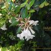 ハナゾノツクバネウツギ  Abelia×grandiflora