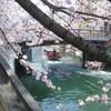 2018年3月31日、横浜の桜たち