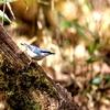 忙しそうに飛び回る樹上の忍者ゴジュウカラ
