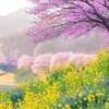 ファミリーで楽しむ!「みなみの桜と菜の花まつり」