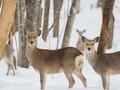 【旭川・嵐山公園】エゾシカの大群をM.ZUIKO DIGITAL ED 300mm F4.0 IS PROで撮影