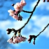 安行寒桜 (その3)