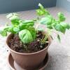 嫁さんが家庭菜園デビュー。紫蘇を育て始めました。