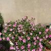 連日の酷暑 鉢花の様子