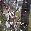 梅林公園の梅はまだまだでした。 @京成大久保 梅林公園