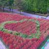 色づくコキア:砺波チューリップ公園