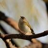 鳴き声が名前になってる鳥とコミミズク