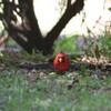 ショウジョウコウカンチョウ(Northern Cardinal)