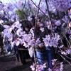 初めましての桜。