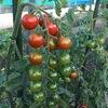 最近の収穫物 ~Recent harvest