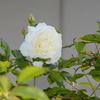 ぽつりぽつりと咲くのだけど、早くアイスバーグで埋め尽くす姿をみたいのだ!
