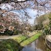 桜/2021 (3)川歩きに来たはずが花見散歩に(神奈川県二宮から秦野へ)