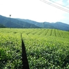 たった1週間で大きく変化した茶畑