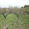 梅の実を摘果する前に