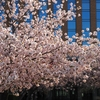 石川県県庁舎「桜並木」