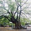 徳島の巨木