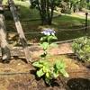 うちの紫陽花さん。。