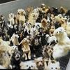 「子犬工場」400匹を過密飼育、虐待の疑い