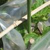 キュウリの苗、夜の寒さに負けず成長中 +畑の様子