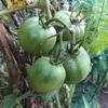 """畑からこんにちは! 1026   """" 朝の冷込みが日に日に増します…  """"   #家庭菜園 #秋野菜 #野菜"""