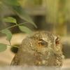 井の頭自然文化園 オオコノハズク