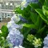 根岸線と紫陽花