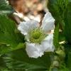 木苺に可憐な一重の白花が咲きました。カジイチゴの花のフリル。