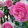 薔薇色の季節♪