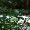 まめ子の公園の紫陽花