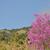 【高嶺の花:イワウチワ】・・初めて見られました(^o^)v