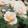 GWお出かけ:蕾から満開まで、色々なバラの表情が見れた旧古河庭園