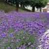 ラベンダー発祥の地は、富良野ではなく札幌南沢神社付近だった。