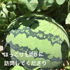 家庭菜園初心者 難しいことはしないで簡単な方法でスイカとメロンを育てています(^-^)