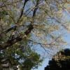 JR根岸線 横浜の桜と機関車 その4