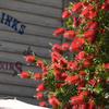 西部に咲く真っ赤なブラシ!?