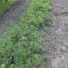 にんじん畝の除草