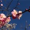 世田谷ランニング~羽根木公園の梅まつり、豪徳寺の招き猫~