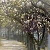 2017/3/28 木蓮から桜へ