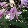 カトレア(Rlc. Mikawa Sharbet x Little Toshie)、クリナム、アガパンサスが咲きました~!