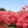 徳仙丈山のツツジは今です