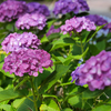 【LUMIXS1】高塔山で紫陽花撮影【写真】