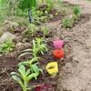 「佐久の季節便り」、「麦藁菊・貝細工」のポット苗を、「第二賢治ガーデン」に移植…。