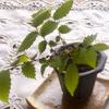 挿し木のケヤキと実生のモミジの若葉