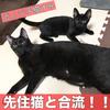 やっと先住猫たちと合流できた!元ノラ子猫すみ!!