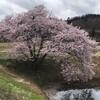4月9日(木)地元の桜を見て大林カタクリ山へ行く