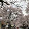 弥栄の「さくら」(3月28日)
