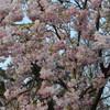 桜並木の道の上で