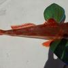 小潮の鯛ラバ釣行