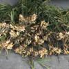 生姜の収穫 part 2