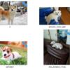 白のトイプードルの画像を集める:物体検出+クラス分類